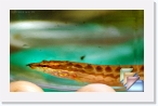 India-Kerala-Aquatic * Fresh Water Fishes of Kerala and India * (12 Slides)