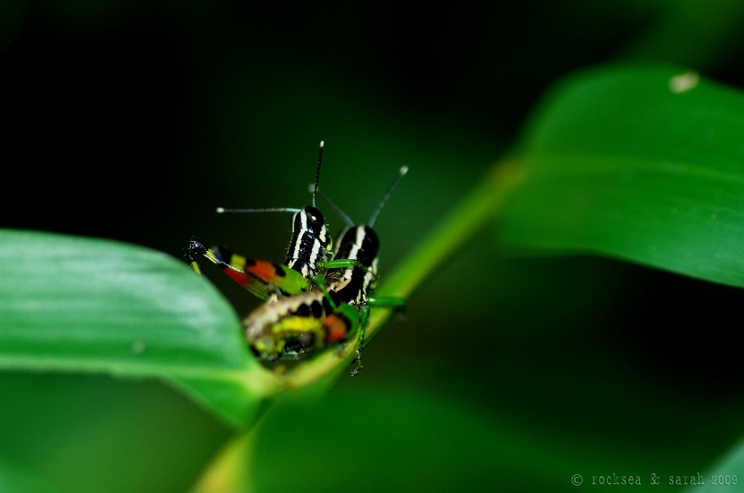 green with black and red valentine grasshoppers